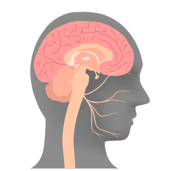Illustration of human head cross-section | Sacramento CA